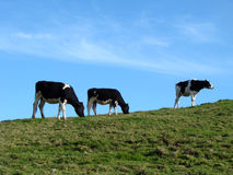 Three Cows. On a green field hill Royalty Free Stock Images