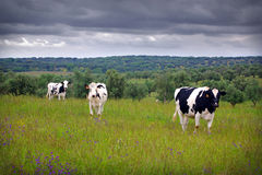 Free Three Cows Royalty Free Stock Images - 5458829