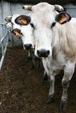 Three cows. Portrait of three cows race piedmontese .Racconigi Cuneo-Italy Royalty Free Stock Photos