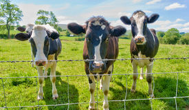Three cows behind a barbed wire fence. Stock Images