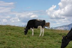 Three cows eating grass in the meadows royalty free stock images
