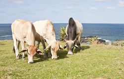 Three cows eating grass with the ocean Stock Photos