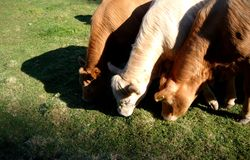 Three cows eating grass. The picture is taken summer 2009 in Hedmark Norway Royalty Free Stock Images