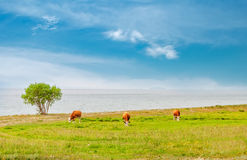 Three cows on field. Cows pasturing on the field close to lake Stock Images