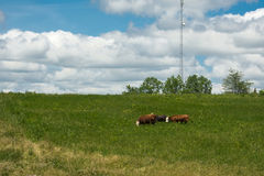 Three cows graze on a farm meadow Royalty Free Stock Photo