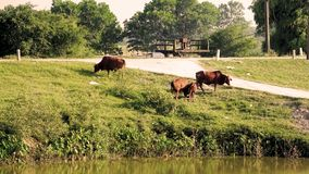 Three cows graze green grass on village roads stock photo