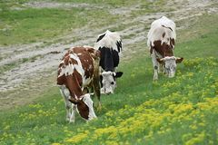 Three cows graze on the slope of hill. Three cows graze on the slope of green hill Stock Photo