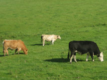 Three cows grazing, in Ireland Royalty Free Stock Photos
