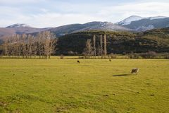 Cows in Mountainous Winter Landscape Meadow. Three Cows Grazing in Mountainous Landscape Valley Winter with trees and hills Royalty Free Stock Photography