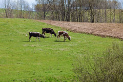 Three cows on green pasture Stock Image