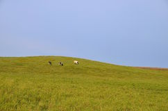 Three cows on hillside Royalty Free Stock Image