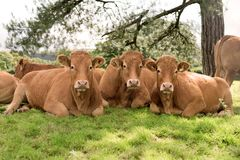 Three cows lying on meadow Stock Photography