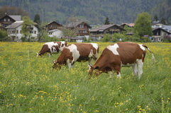 Three cows on meadow. Cows grazing on pasture in Interlaken, Switzerland Royalty Free Stock Photos