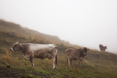 Three cows in a mountain pasture. Three cows in the fog, standing in a mountain pasture Stock Image