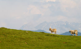 Three cows in mountain. Royalty Free Stock Image