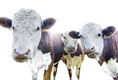 Three cows Stock Image
