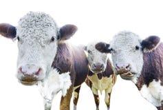 Three cows Stock Image