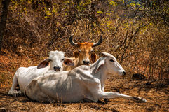 Three Cows Relaxing Royalty Free Stock Photos