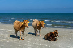 Three cows spotted standing on a sandy beach. Horizontal view of Royalty Free Stock Photos