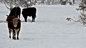 Three cows standing on a snow-covered area Royalty Free Stock Images