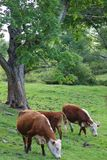 Three Cows and a Tree. Three cows in a field with trees and brush in the summer time, grazing Stock Photo