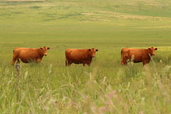 Three Cows Watching Stock Images