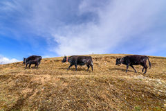 Three cows were walking on the mountains. Stock Image