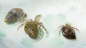Three crab looking at us waiting for freedom Royalty Free Stock Image