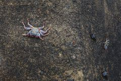 Three crab on the rock in shore of Tenerife stock photo