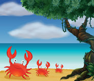 Three crabs at the seashore Stock Image