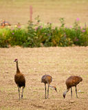 Three Cranes in Field Royalty Free Stock Image