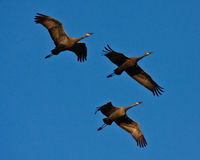 Three Cranes in Flight Stock Photo