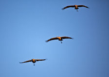 Three Cranes in Flight Stock Image