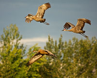 Three Cranes in Flight Royalty Free Stock Photos