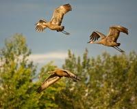 Three Cranes in Flight Royalty Free Stock Photos