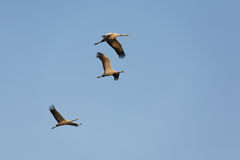 Three cranes in free flight Stock Photos