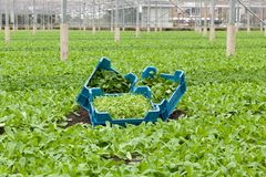 Lamb`s Lettuce or Corn Salad - Valerianella locusta - harvest in greenhouse or glasshouse plantation. Three crates filled with different types of organically royalty free stock image