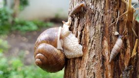 Three crawling snails Stock Photo