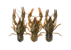 Three crayfish Royalty Free Stock Photo