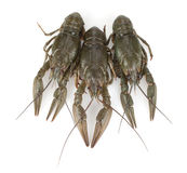 Three crayfishes Royalty Free Stock Images