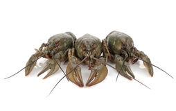 Three crayfishes Stock Image