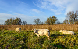 Three cream-colored cows grazing in a Dutch nature reserve Stock Photo
