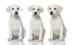Three cream Labrador retriever puppies royalty free stock photos