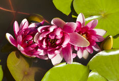 Three crimson water lilies Royalty Free Stock Images