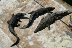Three crocodiles Stock Images