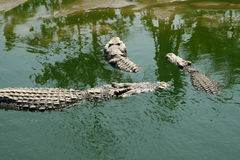 Three crocodiles Royalty Free Stock Photography