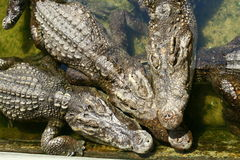 Three crocodiles Stock Photo