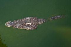 Three crocodiles in green water Stock Photo