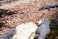 Three crocodiles in hot day Royalty Free Stock Photos