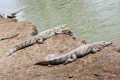 Three crocodiles near water Royalty Free Stock Photos